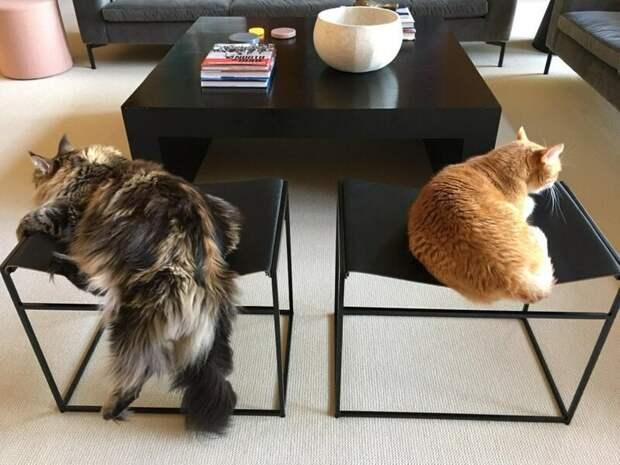 4. Нда, мейн-куны тоже сталкиваются со своими специфическими трудностями домашний питомец, животные, забавно, кот, мейн-кун, фото, юмор