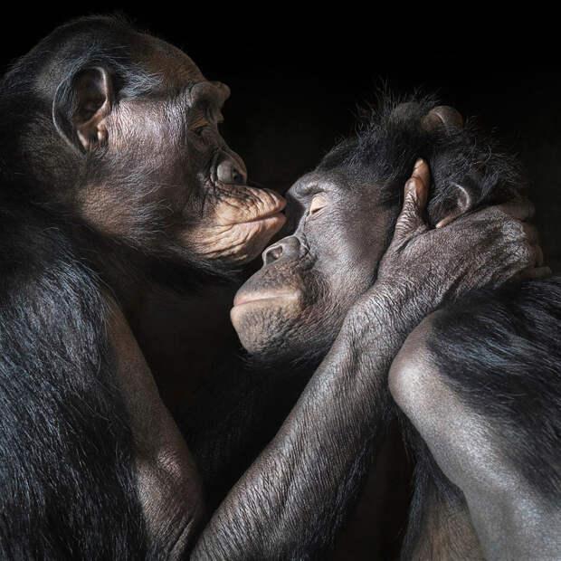 Пара карликовых шимпанзе бонобо