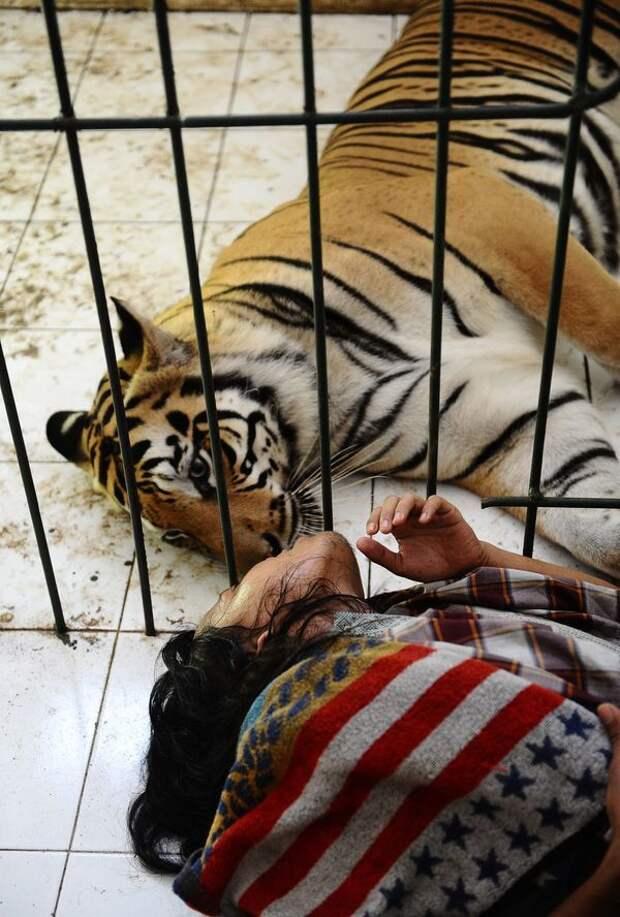 История необычной дружбы человека и тигра
