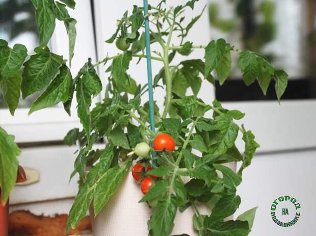 5 сортов томатов, которые отлично растут в домашних условиях