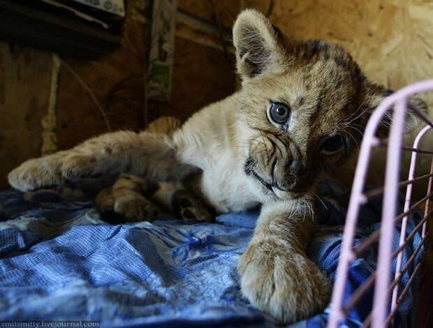 """Самый молодой житель зоопарка - львенок Аристо.  """"Чудесный"""", Семейный, зоопарк, уссурийск"""