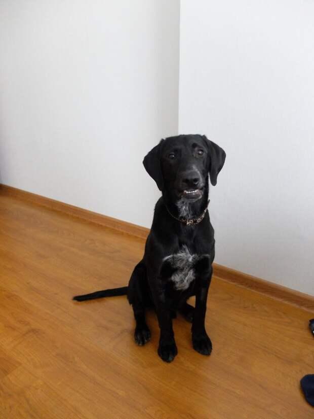 Хозяин не считал нужным кормить своего породистого пса, которого оставил на лесопилке истории спасения, курцхаар, собака, черный пес