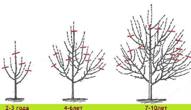 Схема обрезки плодового дерева в разном возрасте