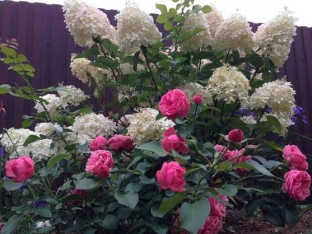 Залог цветения гортензии