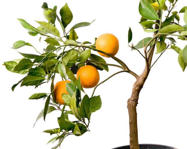 Апельсиновое деревце в горшке