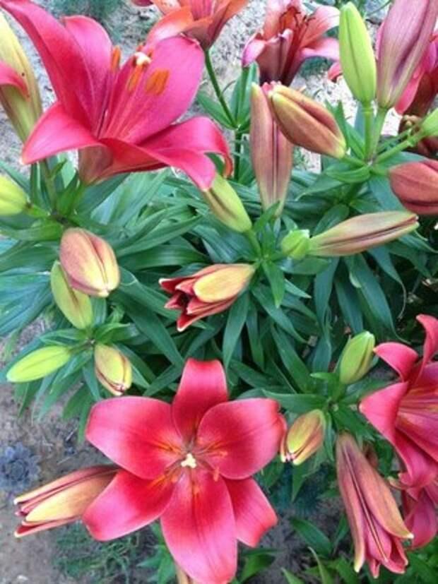 Пышное цветение лилий