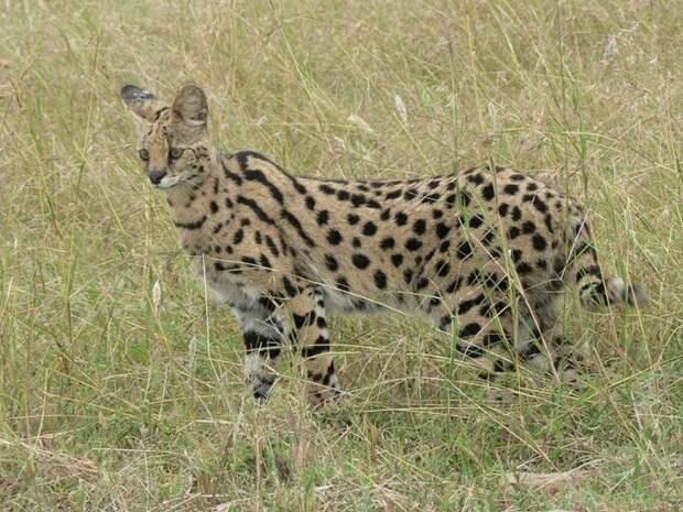 10. Сервал (кустарниковая кошка) кошки, природа