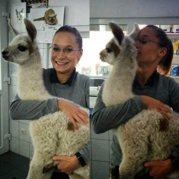 Этому детенышу ламы всего 4 дня ветеринары, животные