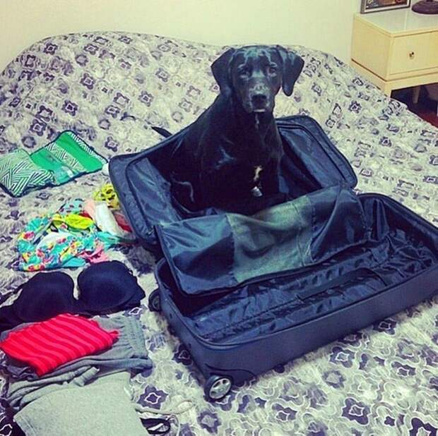 16. Этот парень всегда готов к путешествиям! животные, забавно, милота, подборка, собака, умора, юмор