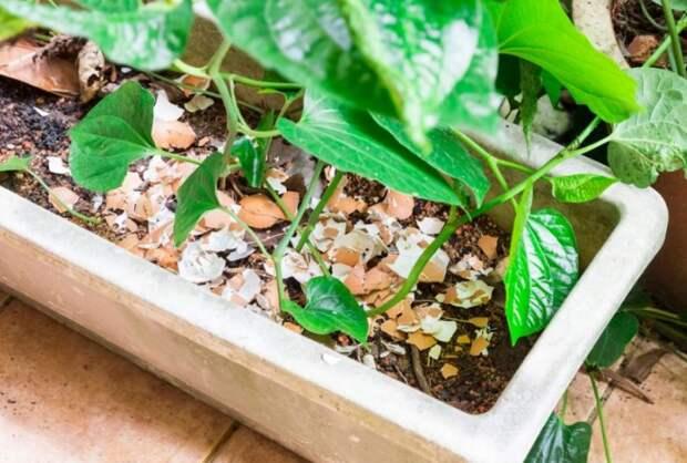 Для борьбы с вредителями достаточно подробить скорлупу на мелкие кусочки и рассыпать вокруг растения / Фото: superdom.ua