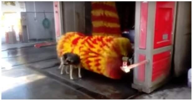 Смелая собака помылась на автомойке автомойка, видео, животные, мойка, прикол, собака