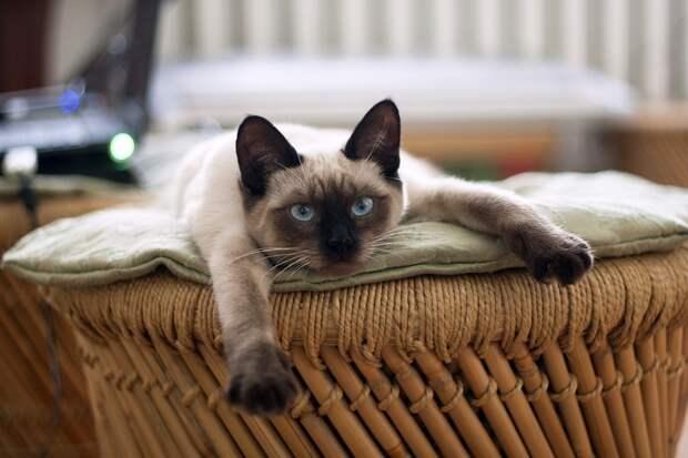 Кот, Кошка, Тайская Кошка, Кошки, Домашнее Животное