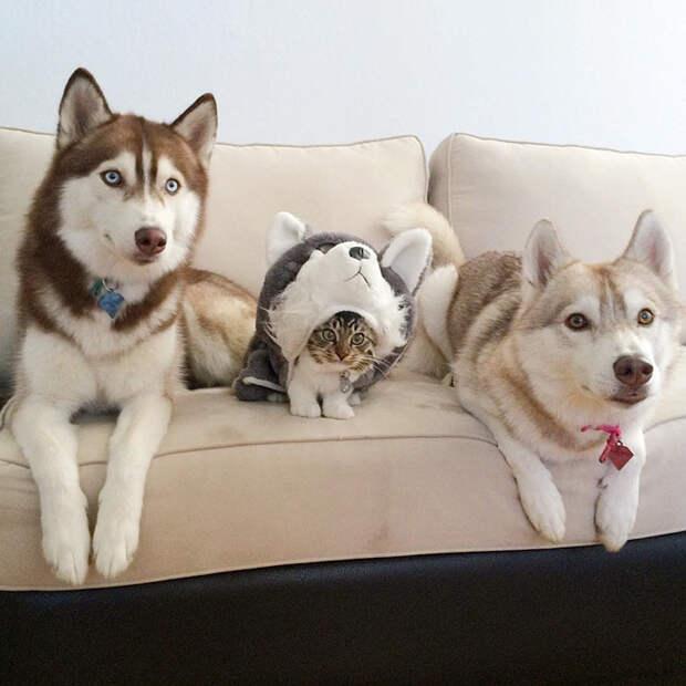 Хаски и кошка