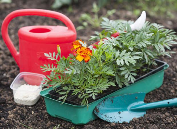 бархатцы, выращивание рассады, рассада перед высадкой в грунт