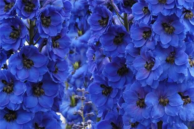 http://www.funflowers.ru/files/images/sinie-cvety-4.jpg