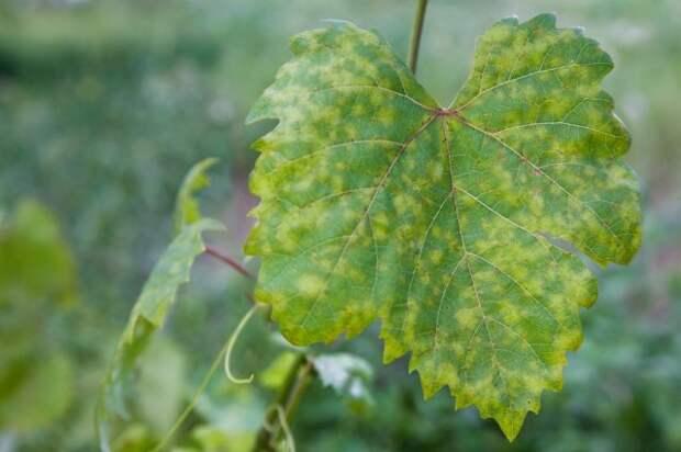 Милдью (ложная мучнистая роса) на винограде