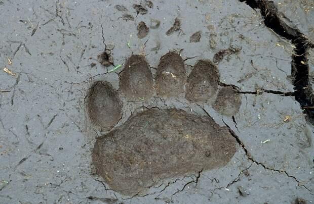 Следы бурого медведя