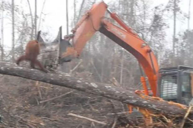 Орангутанг вышел на защиту своего леса от экскаватора: видео