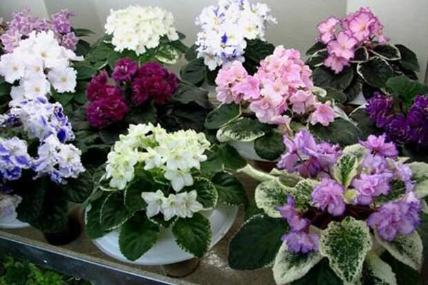 Секрет цветения фиалок – круглый год пышным цветом.