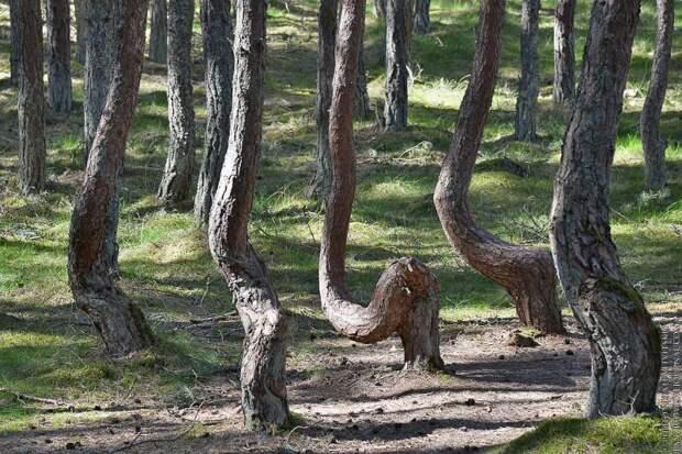 «Пьяные» леса. Какая неведомая сила скручивает деревья?
