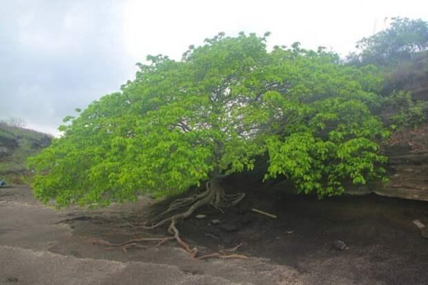 Манцинелловое дерево - самое опасное дерево в мире, которое может вас убить