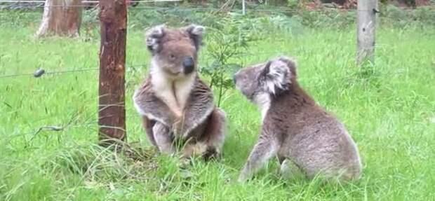 Милейшая драка двух коал