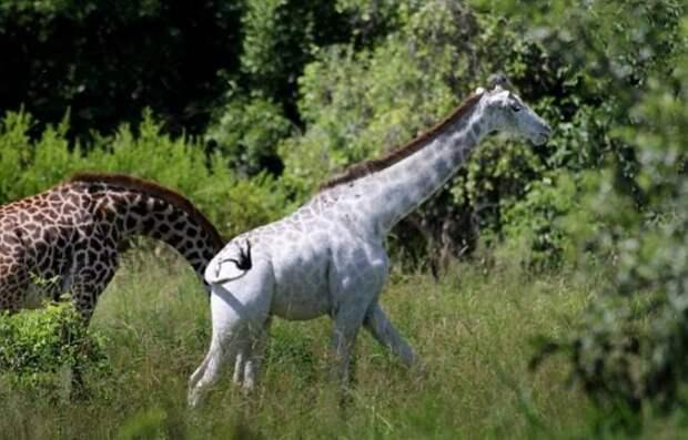 В Национальном парке Тарангире в Танзании фотограф заснял редкого белого жирафа
