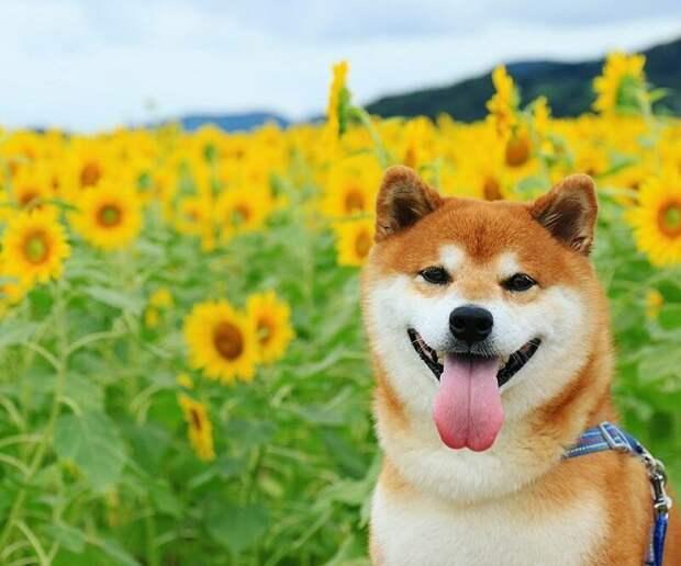 Все без ума от сиба-ину в цветочных полях Хати, животные, парк, сиба-ину, собака, фото, цветы, япония