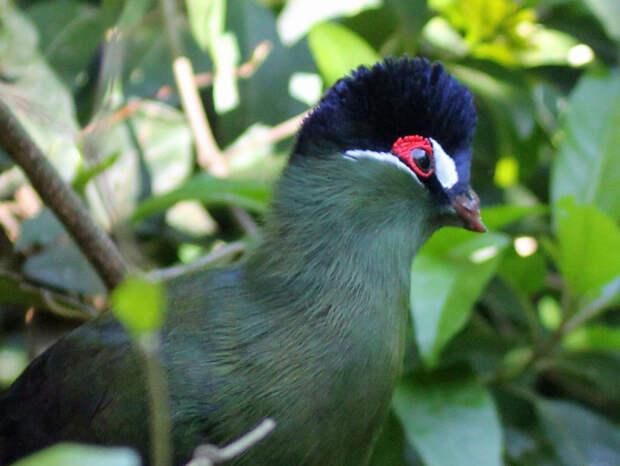 Необычная птица Турако