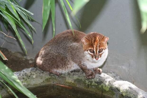 5. Суматранская кошка кошки, природа