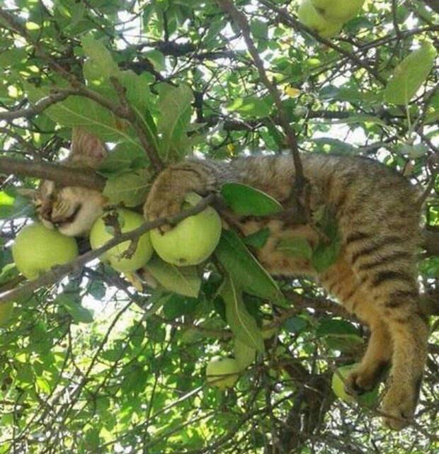 Ученые до сих пор не могут ответить на вопрос: действительно ли кошки любят спать на деревьях?