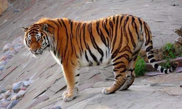 Амурский тигр. животные, красная книга, факты