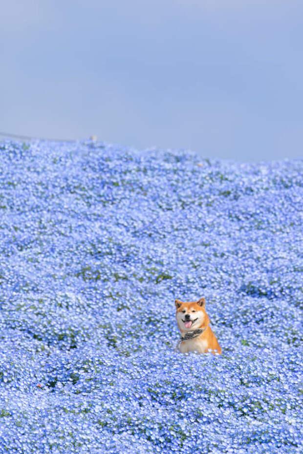 Все без ума от сиба-ину в цветочных полях