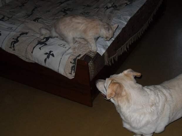 Как стемнеет – начинается. Хамура подначивает, Арчи ведётся - и понеслась. Но Арчи староват и толстоват (хотя за три месяца таких забав уже начинает показываться талия) – и уходит в поддиванье. дружба животных, кот, пёс