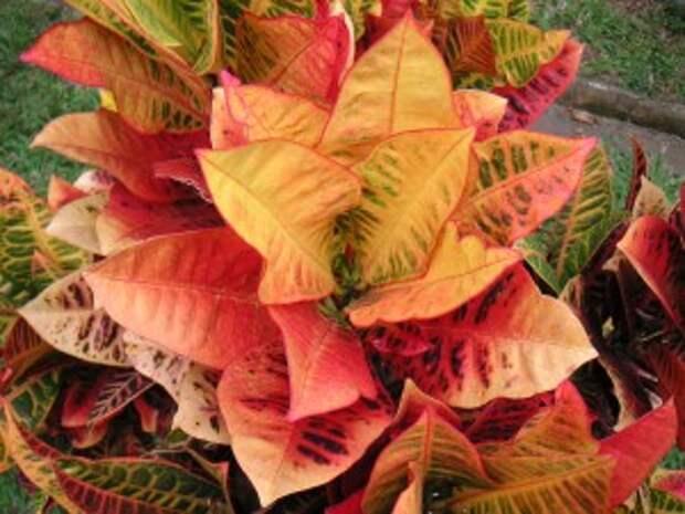 Croton Codiaeum Variegatum Brilliant Colors - Louise Wolff.
