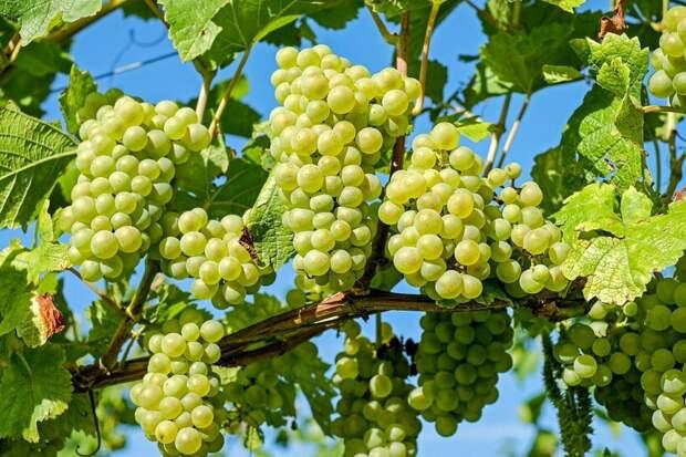 Как не обгореть в путешествии? Поможет виноград!