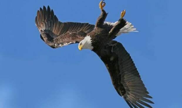белоголовый орлан верх ногами
