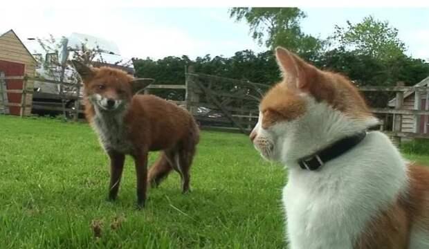 Две лисицы спаслись от охоты в чужом дворе, а потом подружились с хозяином