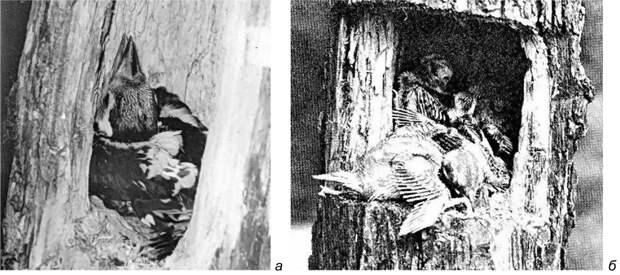 Рис. 20. Расположение птенцов в дуплах дятлов. а – Dendrocopos major (Псковская область, 1981 год, фото автора); б – Dryobates pubescens medianus (фото A.A.Allen, по: Bent 1939).