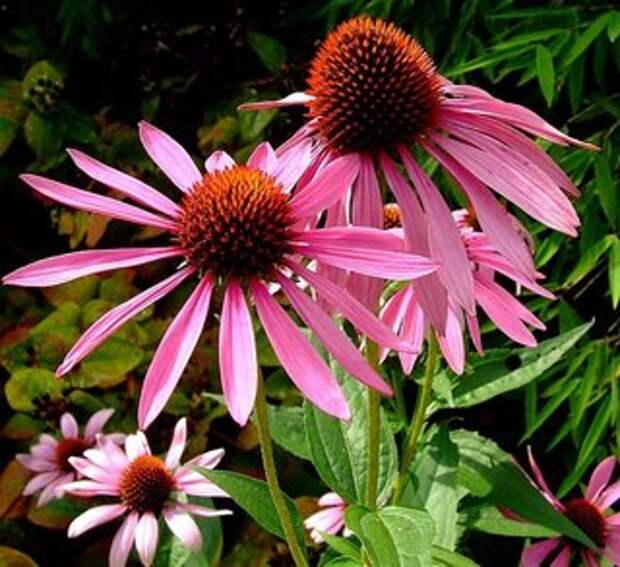 Эхинацея – многоликая красавица