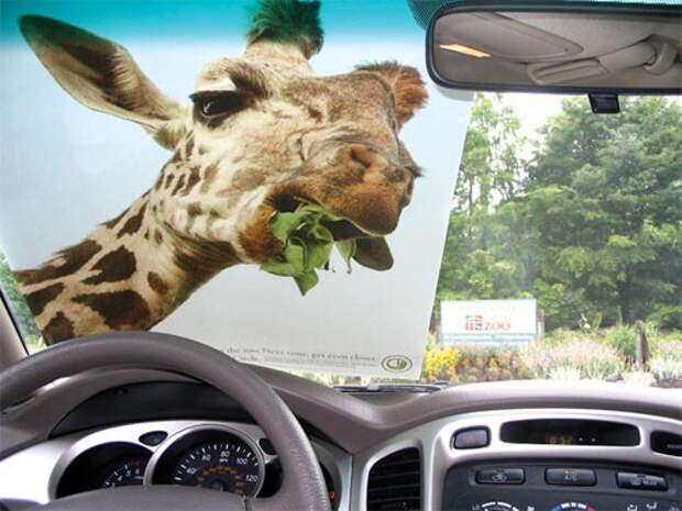 Зоологическое общество пугает людей жирафами