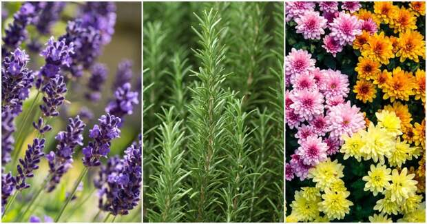 11 растений, способных защитить вас от комаров, клещей, мух и тараканов