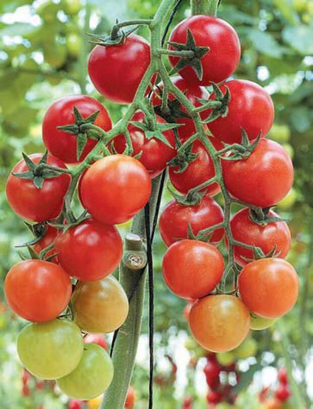 Комнатные помидоры: советы по выращиванию