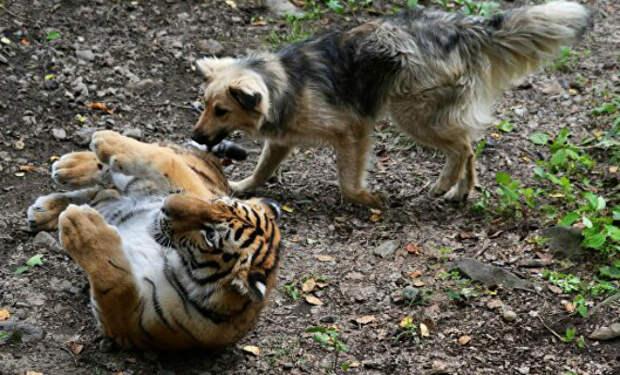 Собака дружила с тигром в детстве, но их разлучили. Хозяин снял встречу через несколько лет на видео