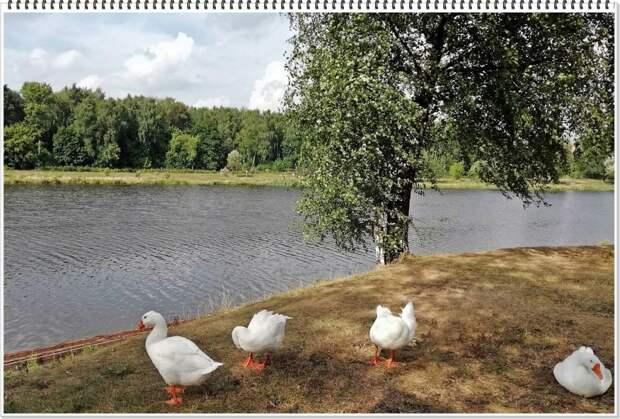 Фото дня: гуси Джамгаровского пруда