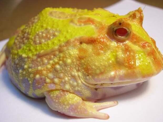 В природе существует еще одно интересное явление, связанное со сменой цвета кожи животного: это ксантизм. «Ксантос» в переводе с греческого означает «желтый». Несложно догадаться, что при ксантизме наружный покров животного желтеет. На фото лягушка с ксантизмом.