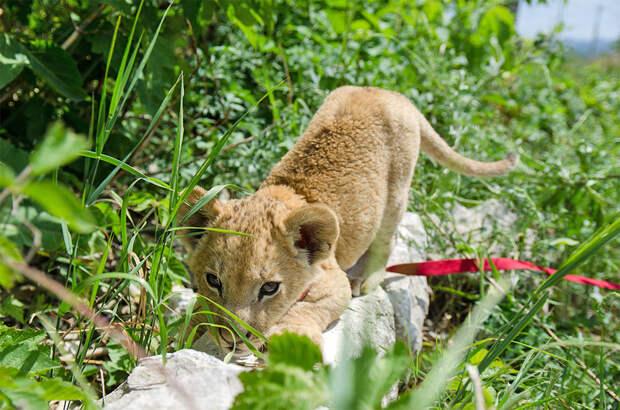 В обычной квартире самарец растит дикое животное и считает, что это безопасно