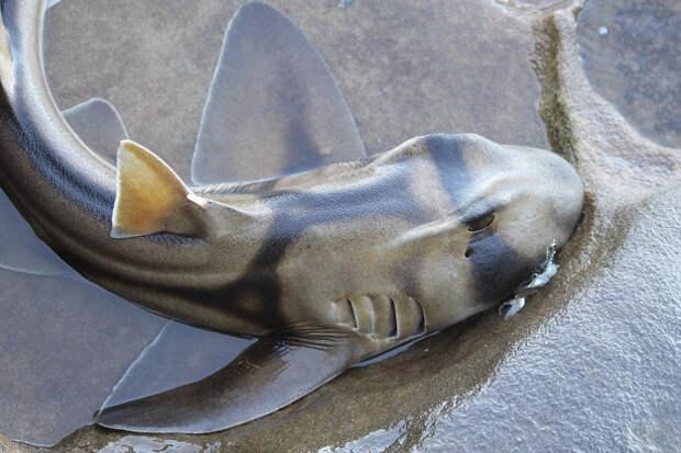 14. Австралийская рогатая акула, у которой есть ядовитые шипы на спинных плавниках. акулы, животные, обожание, рыбы, факты