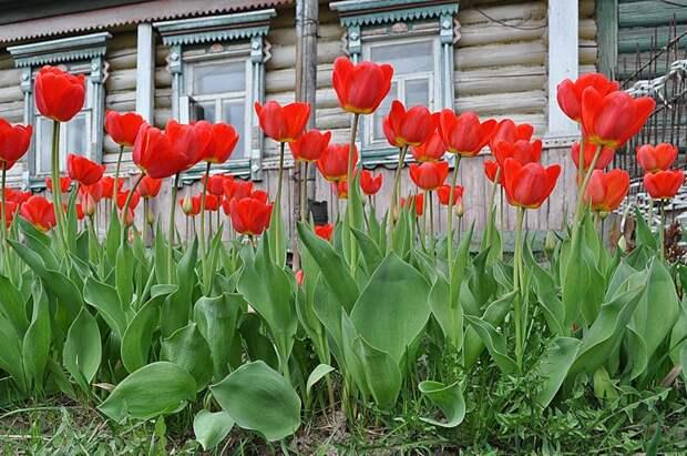 Тюльпаны и мой дом. (04 05 10 05)