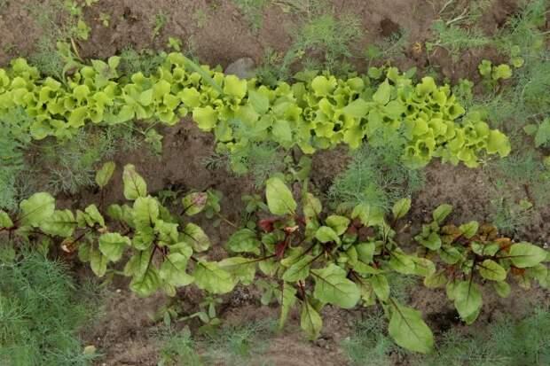 Овощи и зелень на грядке